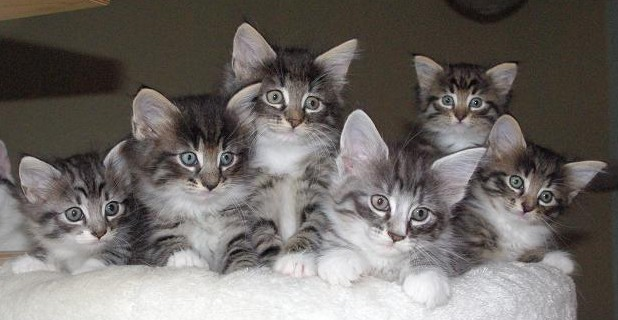 chatons-norva-copy-giens-
