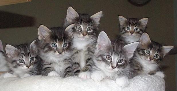 chatons-norvegiens
