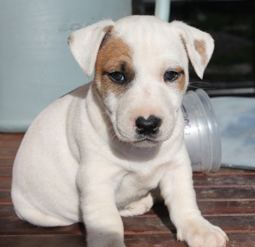 a-ra-copy-server-chiot-type-jack-russell-ma-cent-le-