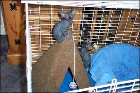 chatons-sphynx-a-nbsp-acqua-copy-rir-