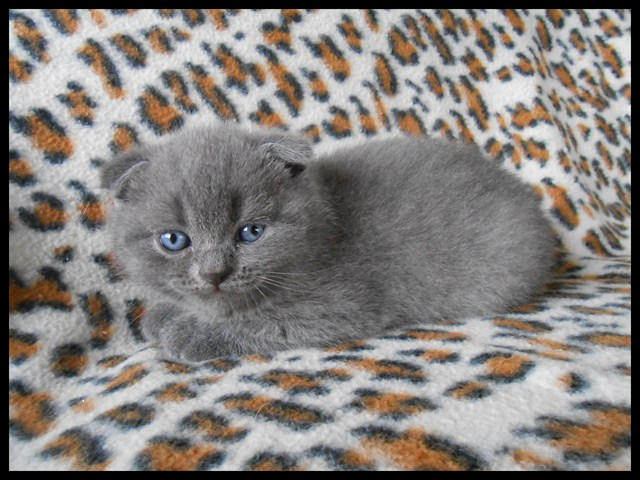 a-reserver-chatons-scottish-fold-loof-