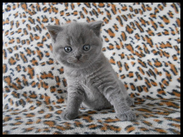 a-reserver-chaton-british-shorthair-loof