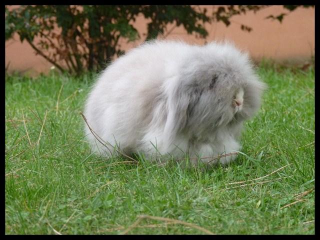 lapins-beliers-nains-angoras-adultes-