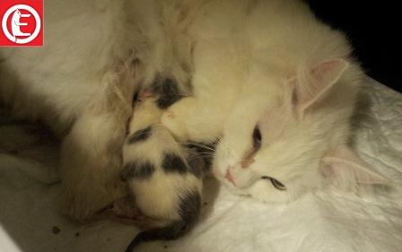 chaton-turc-