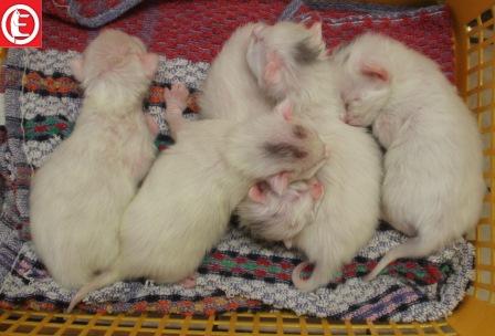 magnifique-chatons-angora-turc-a-reserver-male-et-femelle