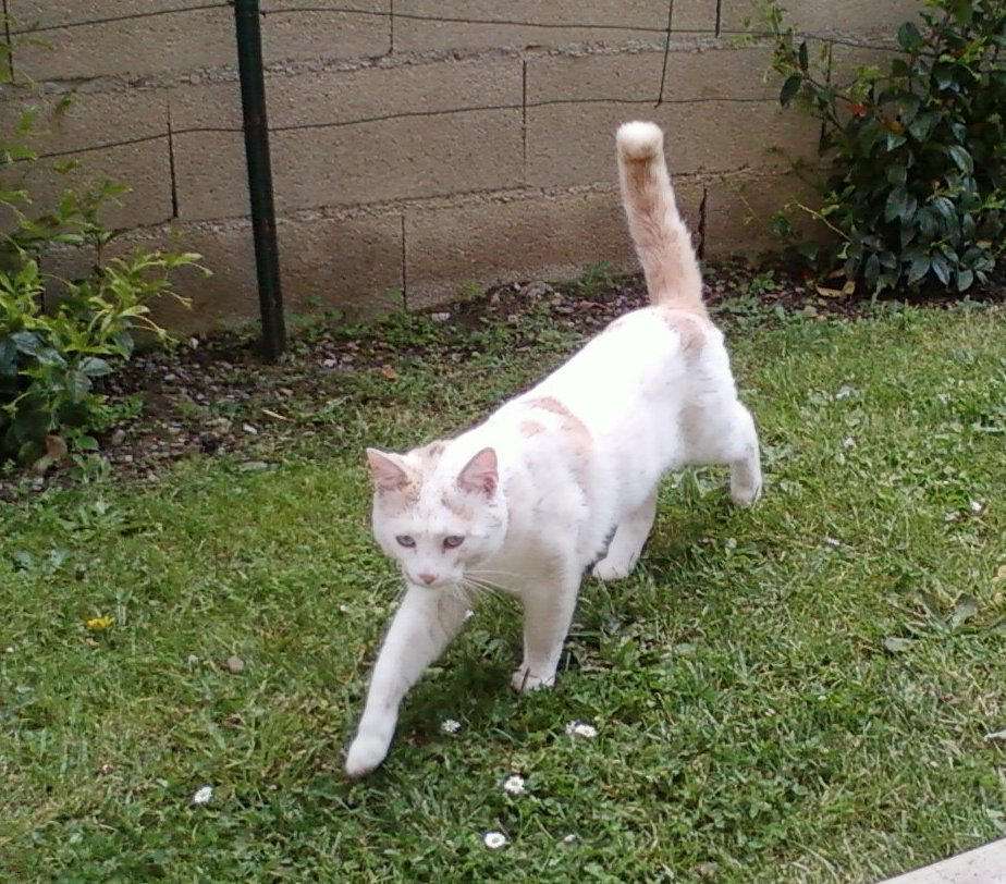 a-adopter-chat-male-blanc-et-roux-europeen-12-mois