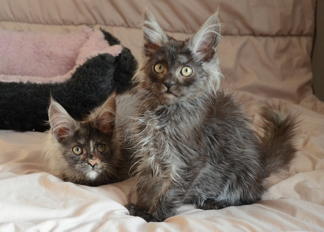chatons-pure-race-maine-coon-disponibles-