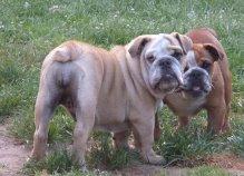 donne-bulldog-femelles-