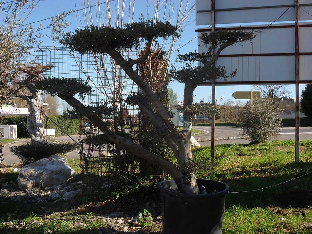destockage-prix-coutant-palmiers-et-oliviers-non-ga-copy-lifs-