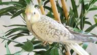 annonces.Toulouse-annuaire - Calopsitte-inséparable Roséicolis-perruche Ondulée Eam