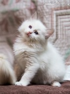 annonces.Toulouse-annuaire - Chaton Ragdoll Loof Avec Pedigree