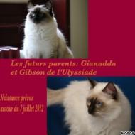 annonces.Toulouse-annuaire - Chaton Ragdoll Seal, Chocolat Bicolore, Colourpoint