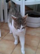 annonces.Toulouse-annuaire - À Adopter Chat Adorable 7ans